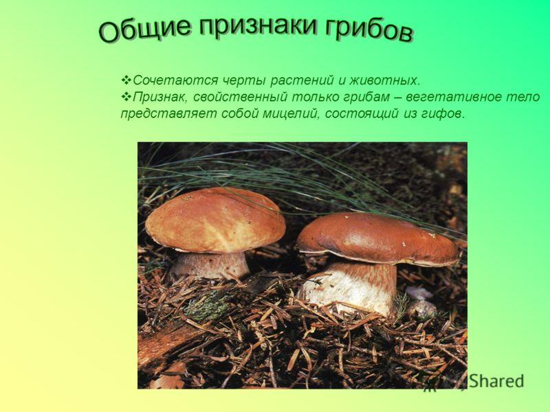 Сочетаются черты растений и животных. Признак, свойственный только грибам – вегетативное тело представляет собой мицелий, состоящий из гифов.