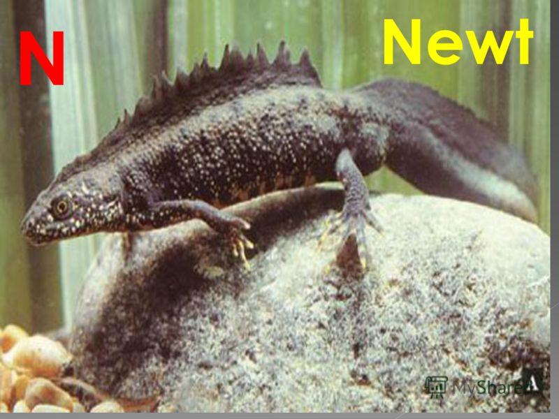 Newt N