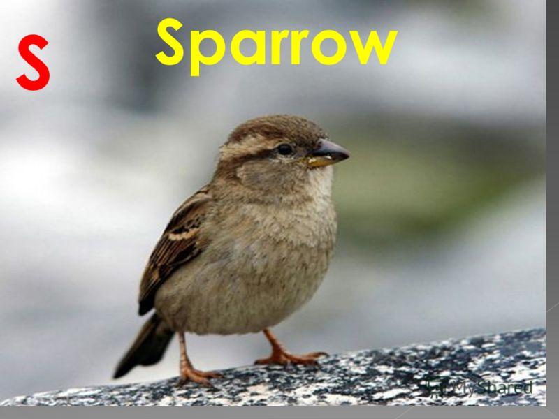 Sparrow S