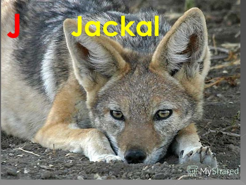 Jackal J