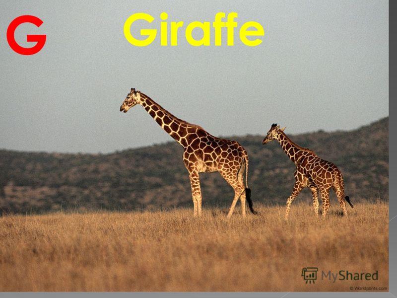 Giraffe G