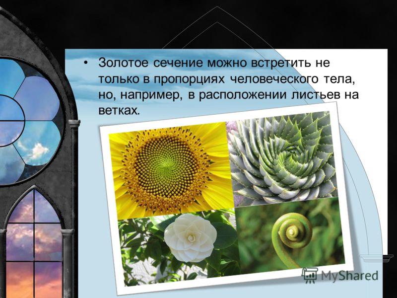 Золотое сечение можно встретить не только в пропорциях человеческого тела, но, например, в расположении листьев на ветках.