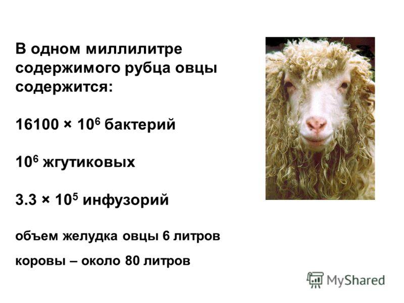 В одном миллилитре содержимого рубца овцы содержится: 16100 × 10 6 бактерий 10 6 жгутиковых 3.3 × 10 5 инфузорий объем желудка овцы 6 литров коровы – около 80 литров