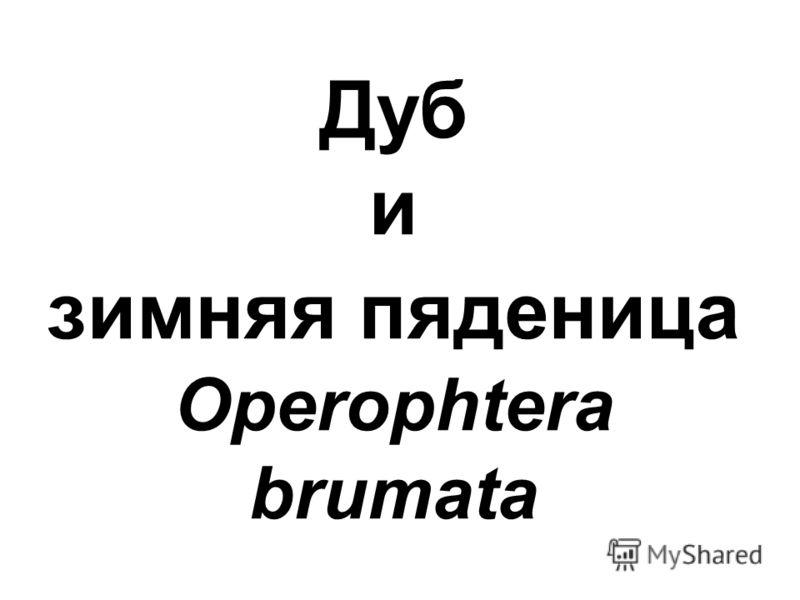 Дуб и зимняя пяденица Operophtera brumata
