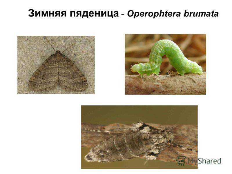 Зимняя пяденица - Operophtera brumata