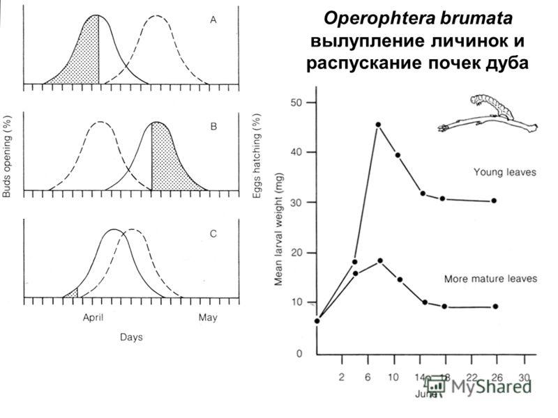 Operophtera brumata вылупление личинок и распускание почек дуба