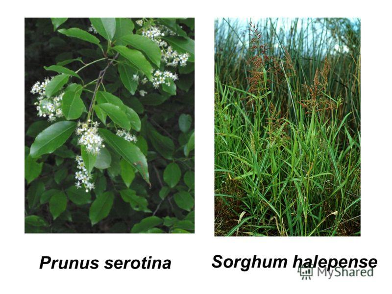 Prunus serotina Sorghum halepense