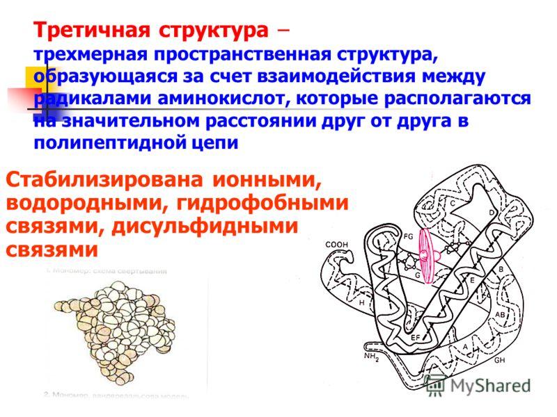 Третичная структура – трехмерная пространственная структура, образующаяся за счет взаимодействия между радикалами аминокислот, которые располагаются на значительном расстоянии друг от друга в полипептидной цепи Стабилизирована ионными, водородными, г