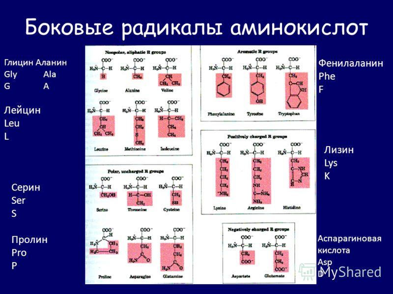Боковые радикалы аминокислот Глицин Аланин Gly Ala G A Лейцин Leu L Фенилаланин Phe F Серин Ser S Пролин Pro P Лизин Lys K Аспарагиновая кислота Asp D