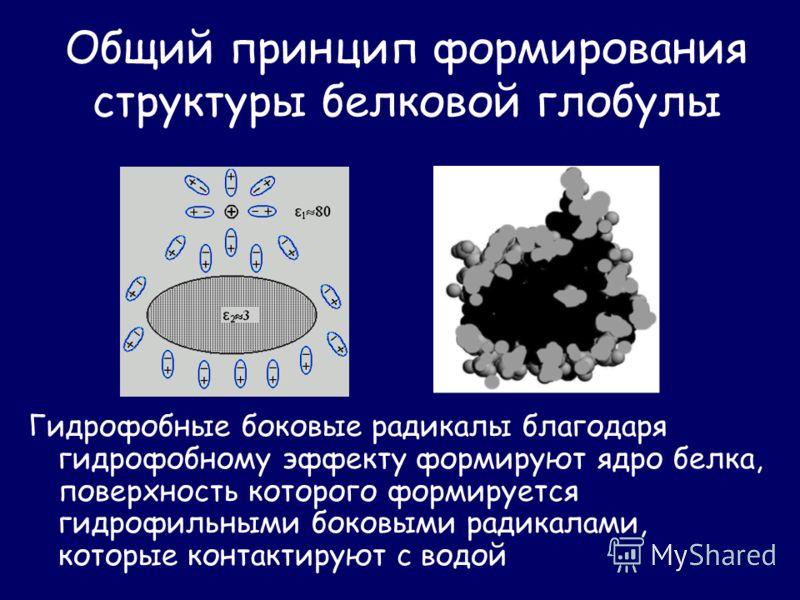 Общий принцип формирования структуры белковой глобулы Гидрофобные боковые радикалы благодаря гидрофобному эффекту формируют ядро белка, поверхность которого формируется гидрофильными боковыми радикалами, которые контактируют с водой