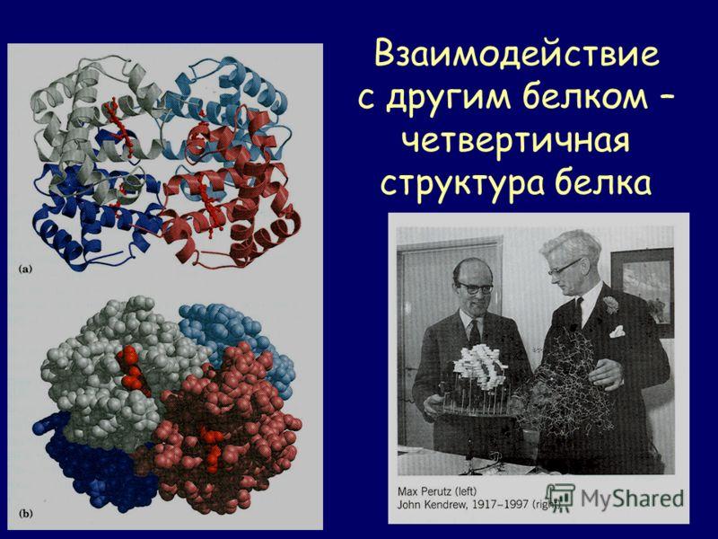 Взаимодействие с другим белком – четвертичная структура белка