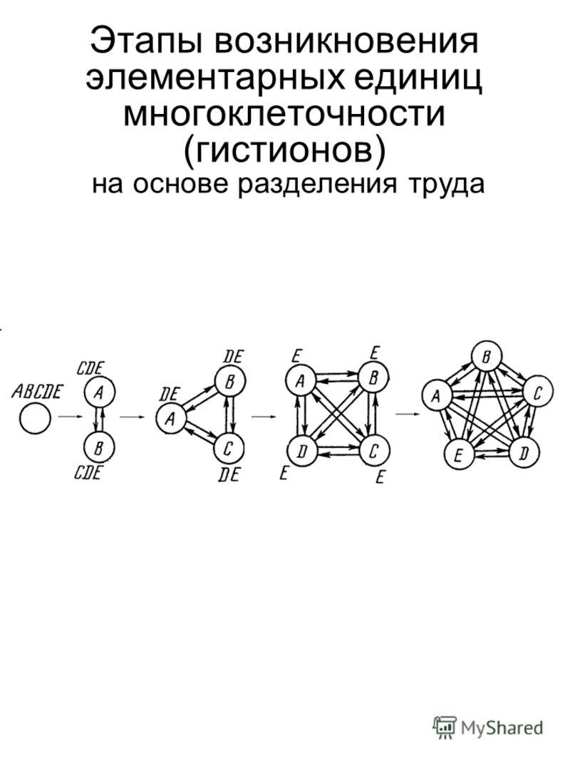 Этапы возникновения элементарных единиц многоклеточности (гистионов) на основе разделения труда