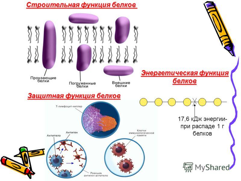 Строительная функция белков Защитная функция белков Энергетическая функция белков 17,6 кДж энергии- при распаде 1 г белков