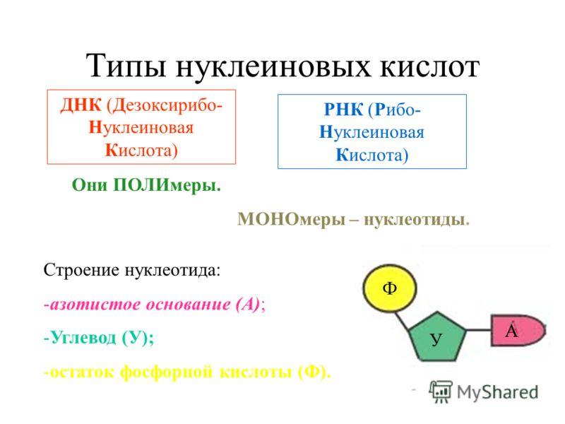Типы нуклеиновых кислот ДНК (Дезоксирибо- Нуклеиновая Кислота) РНК (Рибо- Нуклеиновая Кислота) Они ПОЛИмеры. МОНОмеры – нуклеотиды. Строение нуклеотида: -азотистое основание (А); -Углевод (У); -остаток фосфорной кислоты (Ф). Ф А У