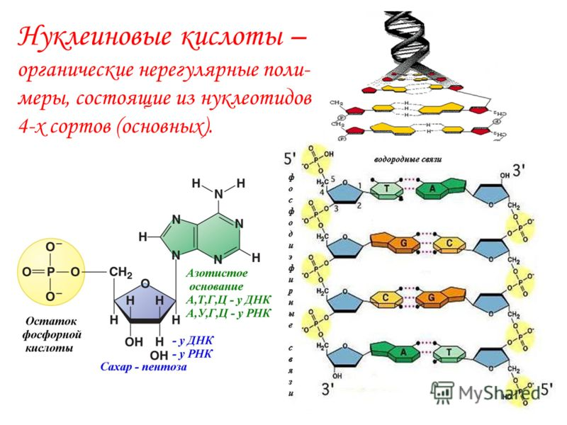 Белки – органические нерегулярные полимеры, состоящие из аминокислот 20-ти (19-ти) сортов (канонических).