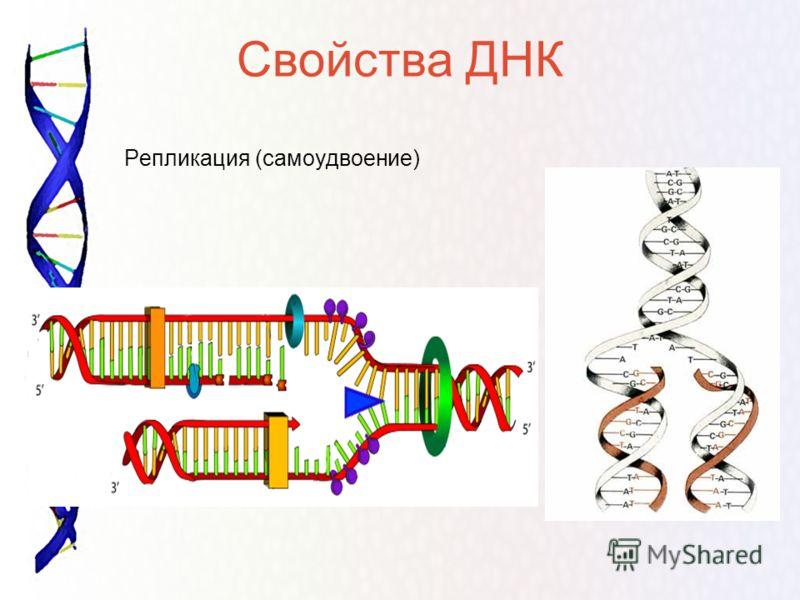 Свойства ДНК Репликация (самоудвоение)