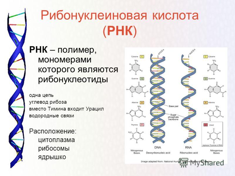 Рибонуклеиновая кислота (РНК) РНК – полимер, мономерами которого являются рибонуклеотиды одна цепь углевод рибоза вместо Тимина входит Урацил водородные связи Расположение: цитоплазма рибосомы ядрышко