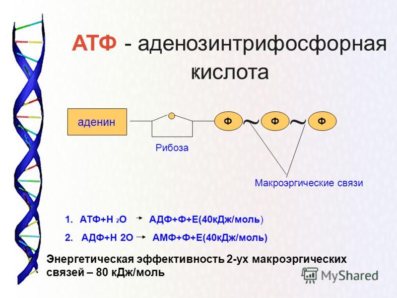 аденин Макроэргические связи 1.АТФ+Н 2 О АДФ+Ф+Е(40кДж/моль) 2. АДФ+Н 2О АМФ+Ф+Е(40кДж/моль) Энергетическая эффективность 2-ух макроэргических связей – 80 кДж/моль АТФ - аденозинтрифосфорная кислота ФФФ Рибоза ~~