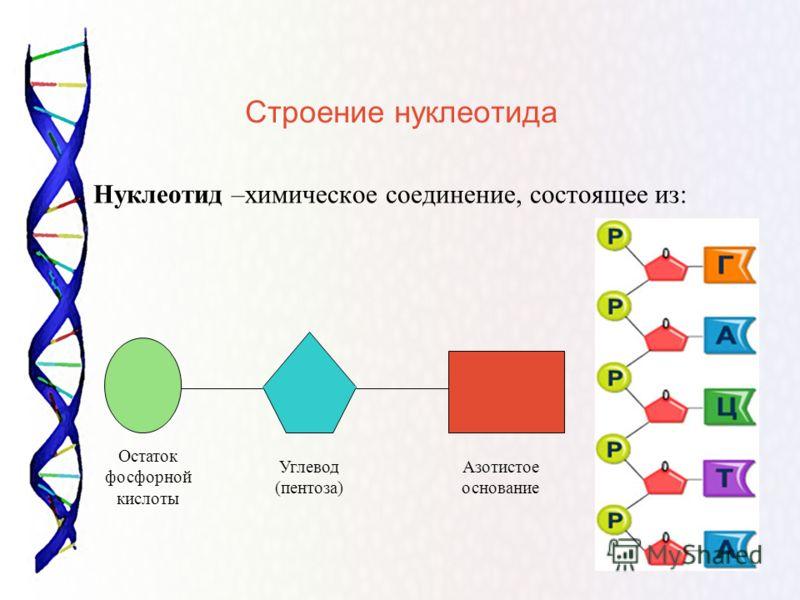 Строение нуклеотида Нуклеотид –химическое соединение, состоящее из: Остаток фосфорной кислоты Углевод (пентоза) Азотистое основание