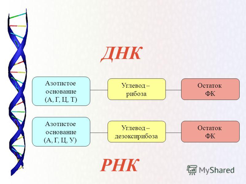 ДНК РНК Азотистое основание (А, Г, Ц, У) Остаток ФК Азотистое основание (А, Г, Ц, Т) Углевод – дезоксирибоза Углевод – рибоза Остаток ФК