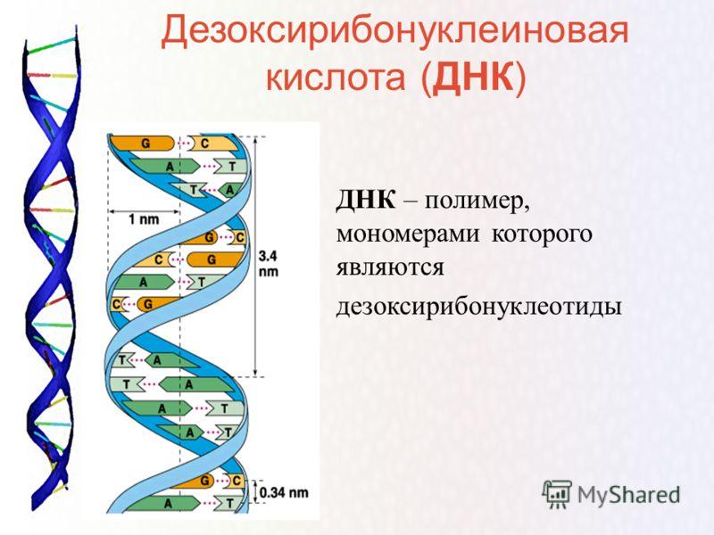 ДНК – полимер, мономерами которого являются дезоксирибонуклеотиды Дезоксирибонуклеиновая кислота (ДНК)