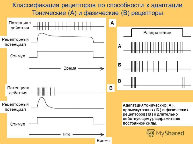 Классификация рецепторов по способности к адаптации Тонические (А) и фазические (В) рецепторы Время Стимул Рецепторный потенциал Рецепторный потенциал Потенциал действия В Потенциал действия Стимул А Адаптация тонических ( А ), промежуточных ( Б ) и