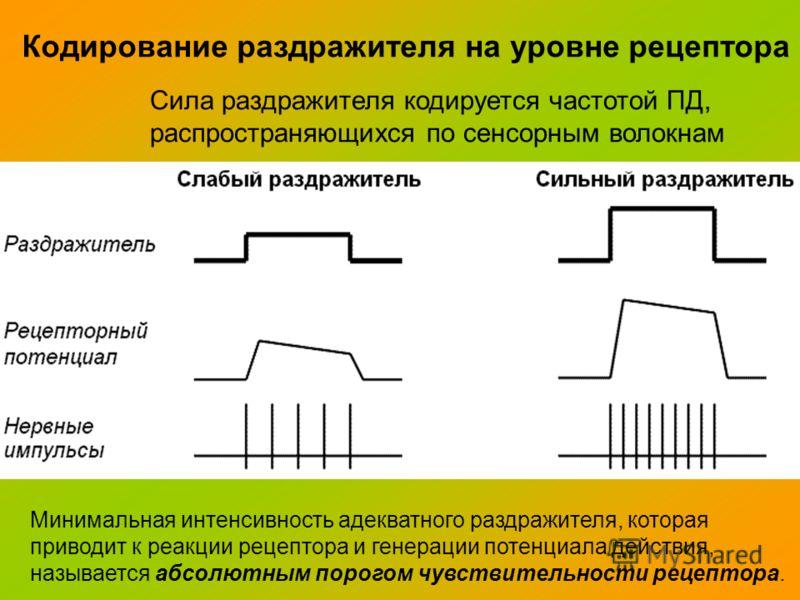 Кодирование раздражителя на уровне рецептора Сила раздражителя кодируется частотой ПД, распространяющихся по сенсорным волокнам Минимальная интенсивность адекватного раздражителя, которая приводит к реакции рецептора и генерации потенциала действия,