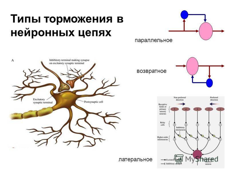 параллельное возвратное латеральное Типы торможения в нейронных цепях