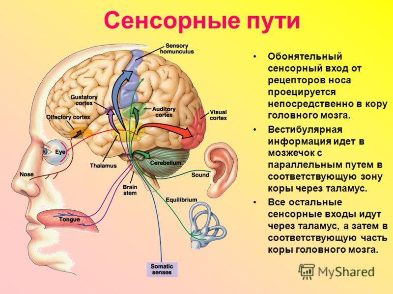 Сенсорные пути Обонятельный сенсорный вход от рецепторов носа проецируется непосредственно в кору головного мозга. Вестибулярная информация идет в мозжечок с параллельным путем в соответствующую зону коры через таламус. Все остальные сенсорные входы