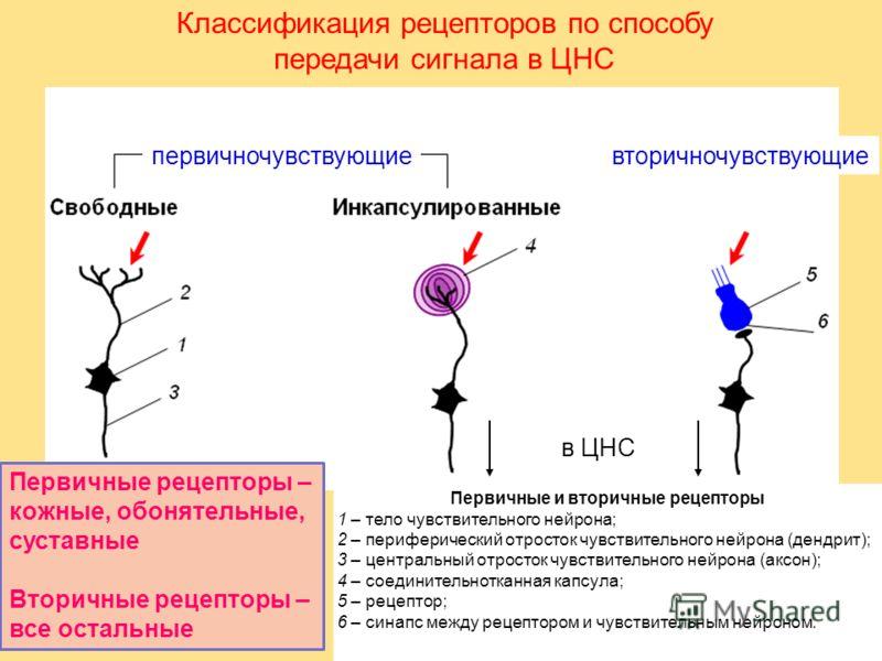 Первичные и вторичные рецепторы 1 – тело чувствительного нейрона; 2 – периферический отросток чувствительного нейрона (дендрит); 3 – центральный отросток чувствительного нейрона (аксон); 4 – соединительнотканная капсула; 5 – рецептор; 6 – синапс межд