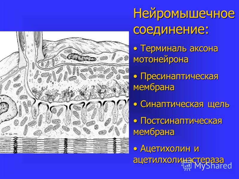Нейромышечное соединение: Терминаль аксона мотонейрона Терминаль аксона мотонейрона Пресинаптическая мембрана Пресинаптическая мембрана Синаптическая щель Синаптическая щель Постсинаптическая мембрана Постсинаптическая мембрана Ацетихолин и ацетилхол