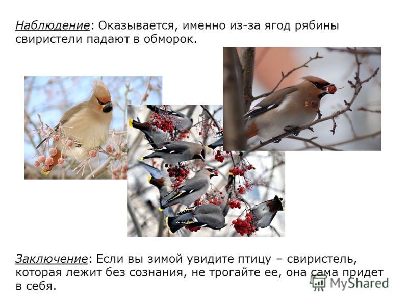 Наблюдение: Оказывается, именно из-за ягод рябины свиристели падают в обморок. Заключение: Если вы зимой увидите птицу – свиристель, которая лежит без сознания, не трогайте ее, она сама придет в себя.