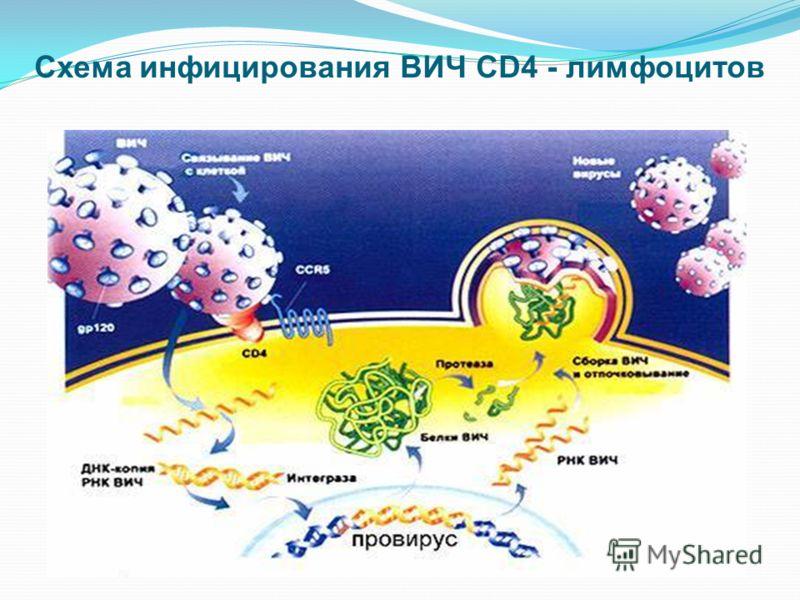 2. РНК Капсула из белка Белок gag 3. Обратная транскриптаза 1. Интеграза 4. Протеаза Оболочка Мембрана из белка Неклеточный рецептор Схема ВИЧ (возбудитель)
