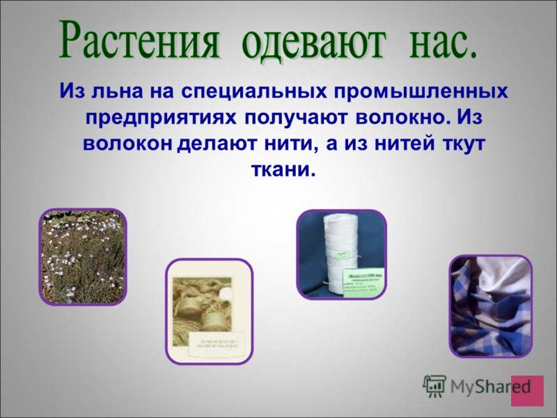 Из льна на специальных промышленных предприятиях получают волокно. Из волокон делают нити, а из нитей ткут ткани.