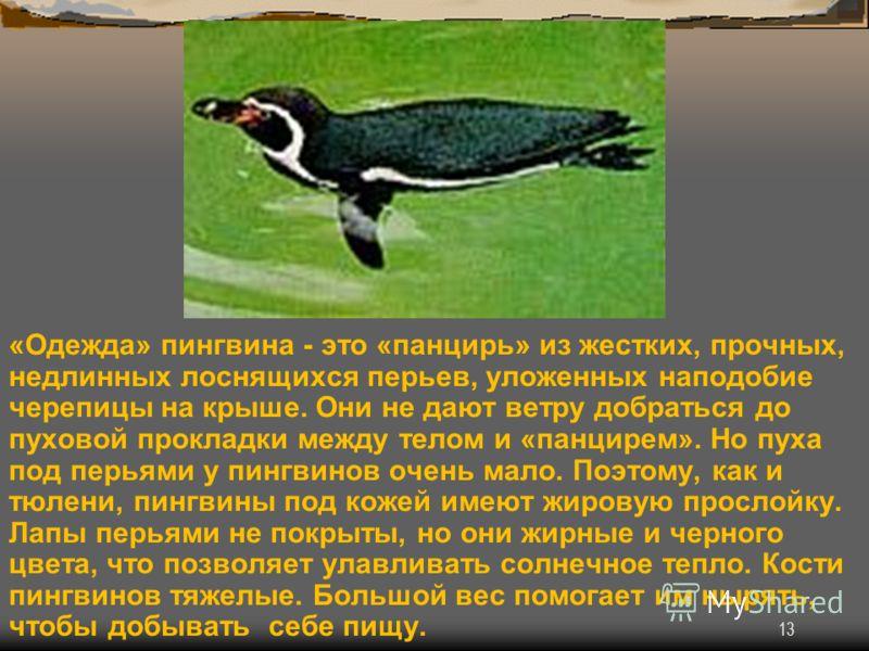 13 «Одежда» пингвина - это «панцирь» из жестких, прочных, недлинных лоснящихся перьев, уложенных наподобие черепицы на крыше. Они не дают ветру добраться до пуховой прокладки между телом и «панцирем». Но пуха под перьями у пингвинов очень мало. Поэто