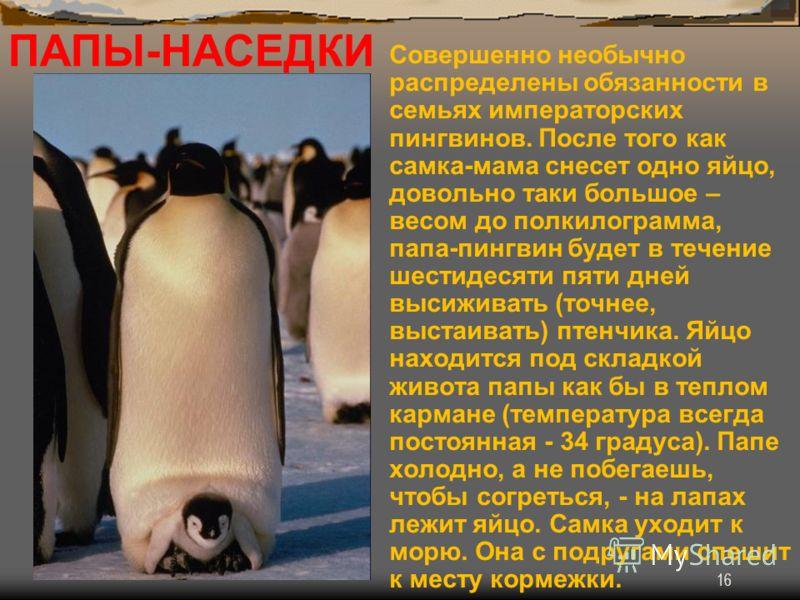 16 ПАПЫ-НАСЕДКИ Совершенно необычно распределены обязанности в семьях императорских пингвинов. После того как самка-мама снесет одно яйцо, довольно таки большое – весом до полкилограмма, папа-пингвин будет в течение шестидесяти пяти дней высиживать (