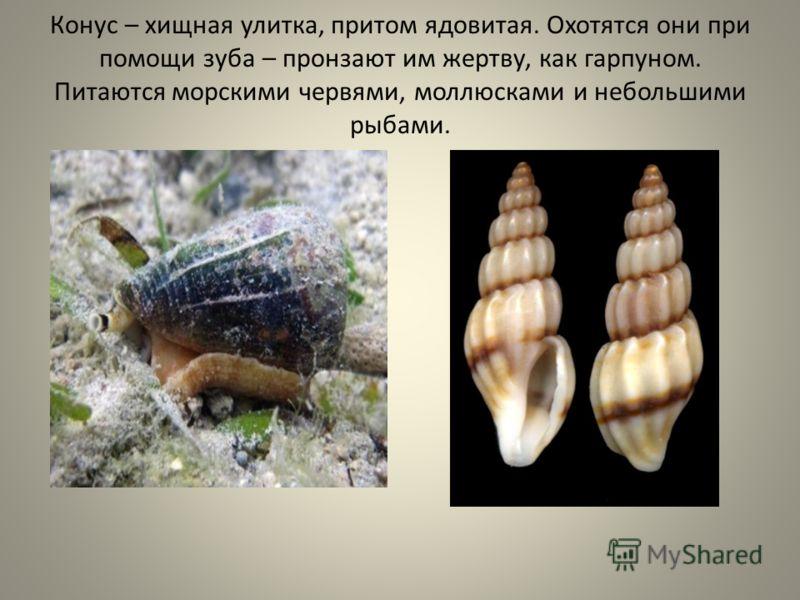 Конус – хищная улитка, притом ядовитая. Охотятся они при помощи зуба – пронзают им жертву, как гарпуном. Питаются морскими червями, моллюсками и небольшими рыбами.