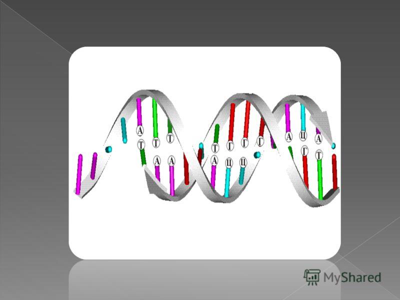 Использование интерактивных моделей Модель, демонстрирующая процесс трансляции (синтез и - РНК) в клетке
