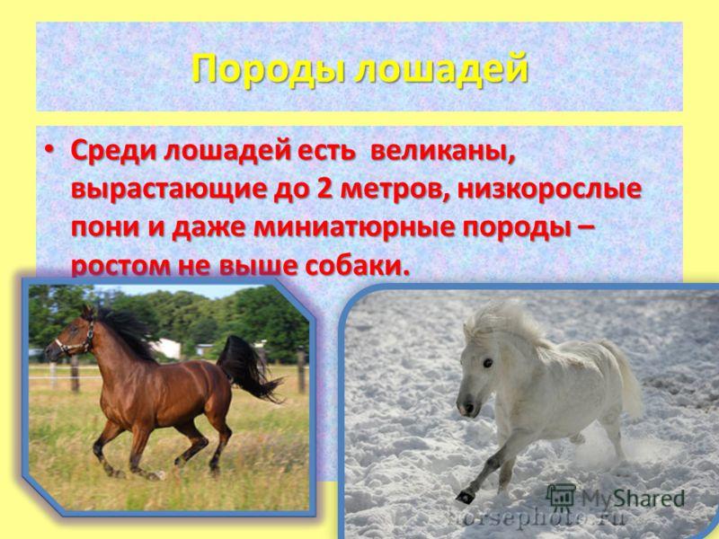 Породы лошадей Среди лошадей есть великаны, вырастающие до 2 метров, низкорослые пони и даже миниатюрные породы – ростом не выше собаки. Среди лошадей есть великаны, вырастающие до 2 метров, низкорослые пони и даже миниатюрные породы – ростом не выше