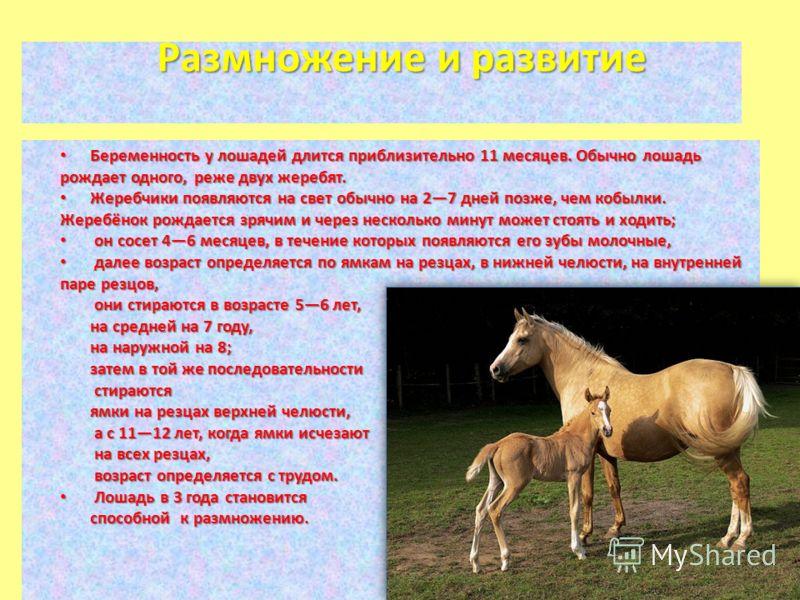 Размножение и развитие Беременность у лошадей длится приблизительно 11 месяцев. Обычно лошадь рождает одного, реже двух жеребят. Беременность у лошадей длится приблизительно 11 месяцев. Обычно лошадь рождает одного, реже двух жеребят. Жеребчики появл