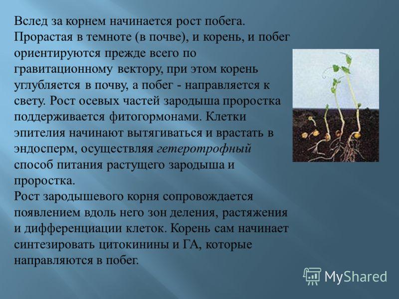 Вслед за корнем начинается рост побега. Прорастая в темноте ( в почве ), и корень, и побег ориентируются прежде всего по гравитационному вектору, при этом корень углубляется в почву, а побег - направляется к свету. Рост осевых частей зародыша пророст