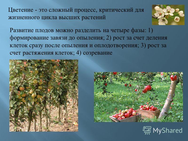 Цветение - это сложный процесс, критический для жизненного цикла высших растений Развитие плодов можно разделить на четыре фазы : 1) формирование завязи до опыления ; 2) рост за счет деления клеток сразу после опыления и оплодотворения ; 3) рост за с