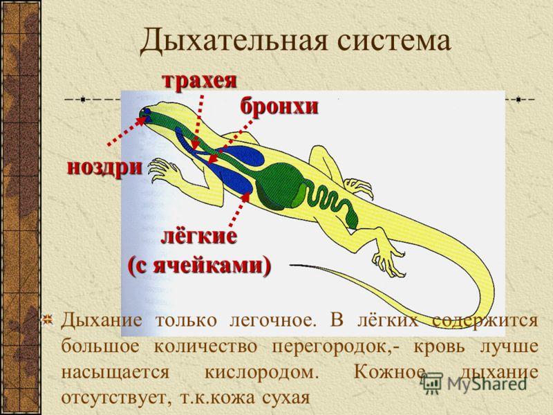 Дыхательная система ноздри трахея бронхи лёгкие (с ячейками) Дыхание только легочное. В лёгких содержится большое количество перегородок,- кровь лучше насыщается кислородом. Кожное дыхание отсутствует, т.к.кожа сухая