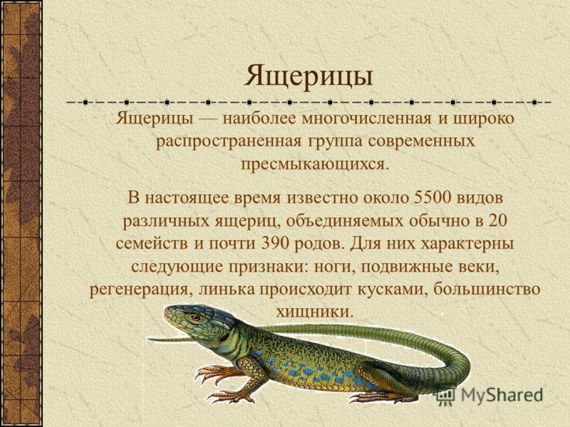 Ящерицы Ящерицы наиболее многочисленная и широко распространенная группа современных пресмыкающихся. В настоящее время известно около 5500 видов различных ящериц, объединяемых обычно в 20 семейств и почти 390 родов. Для них характерны следующие призн