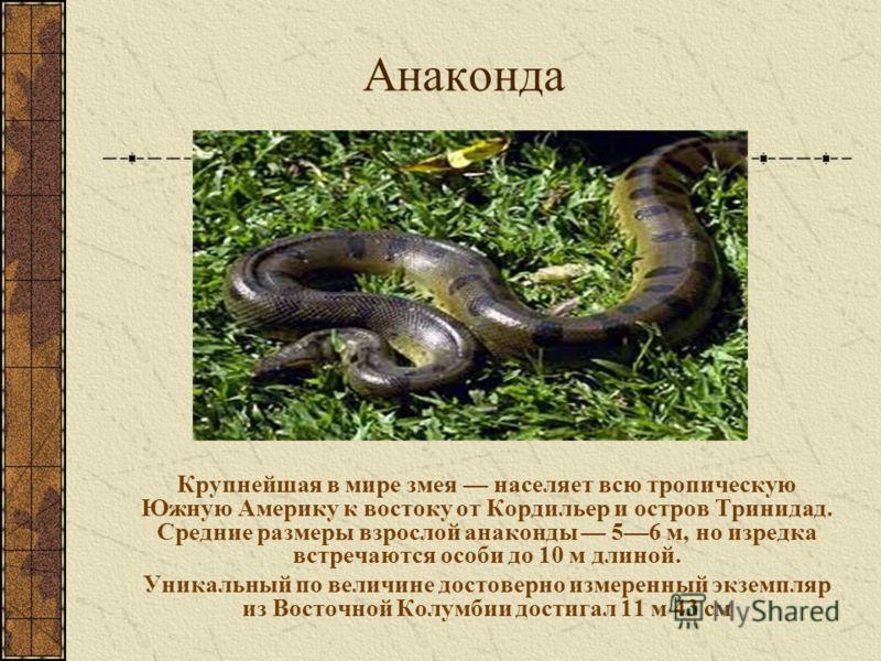 Анаконда Крупнейшая в мире змея населяет всю тропическую Южную Америку к востоку от Кордильер и остров Тринидад. Средние размеры взрослой анаконды 56 м, но изредка встречаются особи до 10 м длиной. Уникальный по величине достоверно измеренный экземпл