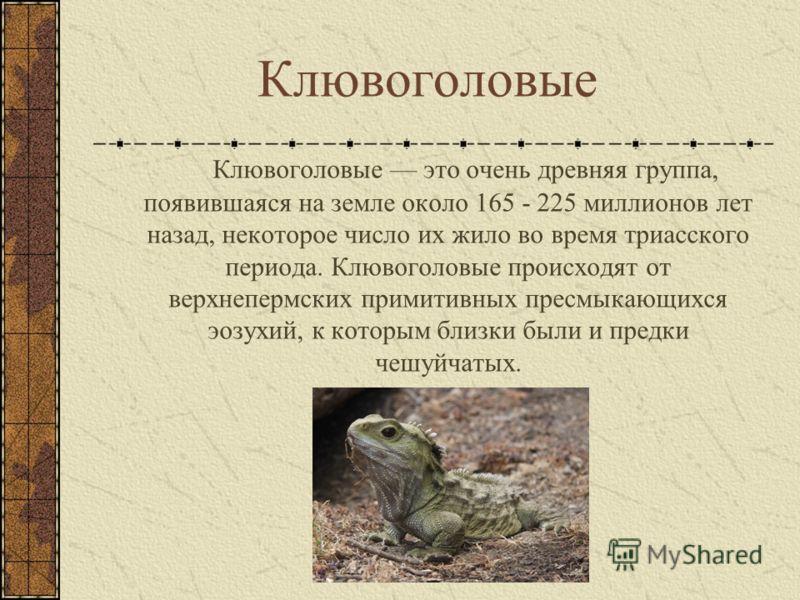 Клювоголовые Клювоголовые это очень древняя группа, появившаяся на земле около 165 - 225 миллионов лет назад, некоторое число их жило во время триасского периода. Клювоголовые происходят от верхнепермских примитивных пресмыкающихся эозухий, к которым