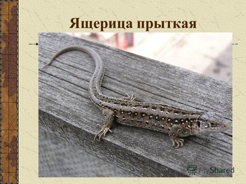 Ящерица прыткая