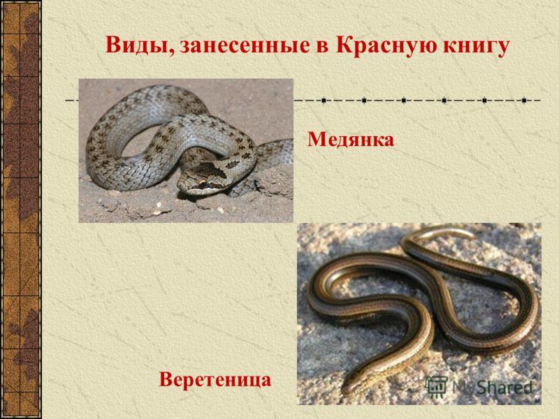 Виды, занесенные в Красную книгу Медянка Веретеница