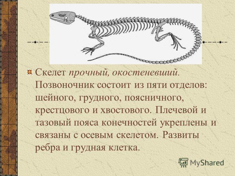 Скелет прочный, окостеневший. Позвоночник состоит из пяти отделов: шейного, грудного, поясничного, крестцового и хвостового. Плечевой и тазовый пояса конечностей укреплены и связаны с осевым скелетом. Развиты ребра и грудная клетка.