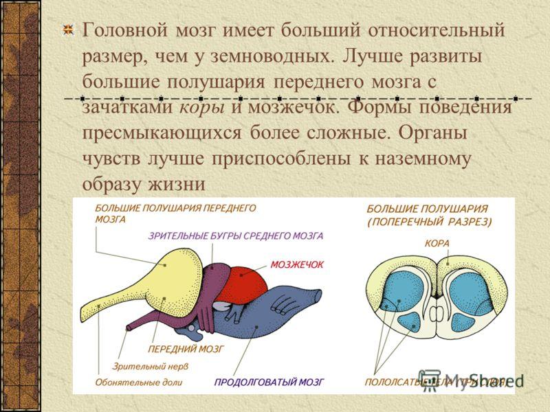 Головной мозг имеет больший относительный размер, чем у земноводных. Лучше развиты большие полушария переднего мозга с зачатками коры и мозжечок. Формы поведения пресмыкающихся более сложные. Органы чувств лучше приспособлены к наземному образу жизни